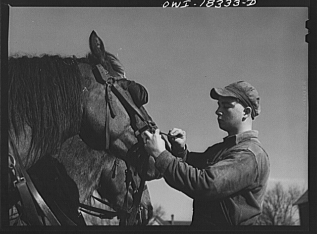 Harvey G. Berthold adjusting a horse's harness on the Colby farm where he was placed after finishing the farm short course at the University of Wisconsin