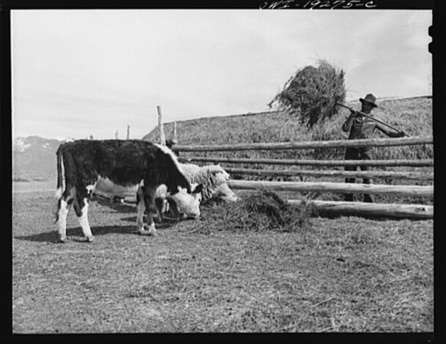 [Los Cordovas (vicinity), Taos County, New Mexico. Feeding stock on Blas Chavez's ranch]