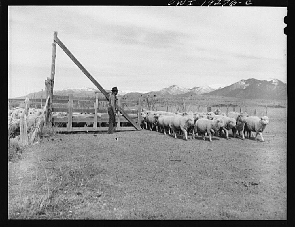 Los Cordovas (vicinity), west of Taos, Taos County, New Mexico. Sheep which belong to Blas Chavez