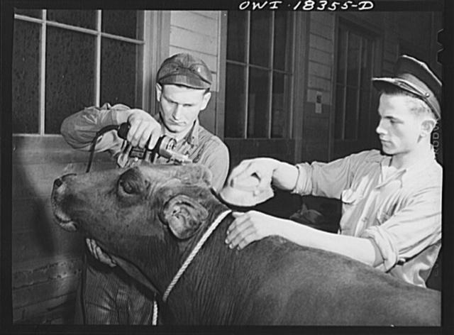 """Madison, Wisconsin. Farm short course school at the University of Wisconsin. Chester Novak and Harold Wichman grooming their brown Swiss cow for the livestock show at the Wisconsin """"Little International"""""""