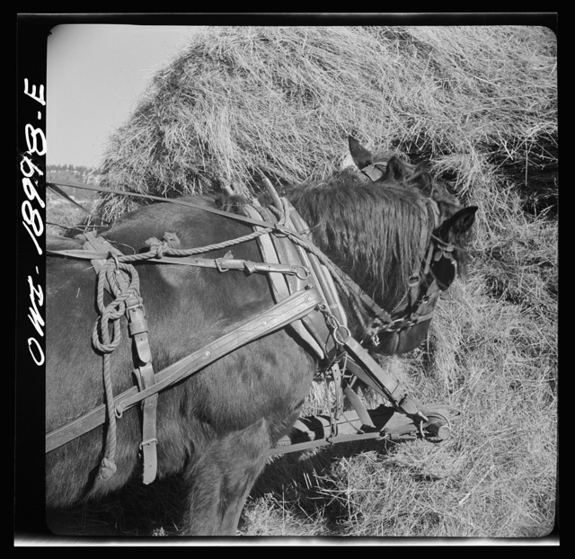 Moreno Valley, Colfax County, New Mexico. A team on George Mutz's ranch foraging in a hay stack while the hay rack is filled for a winter feeding