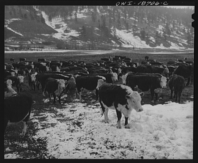 Moreno Valley, Colfax County, New Mexico. Cattle winter feeding on George Mutz's ranch