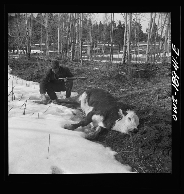 Moreno Valley, Colfax County, New Mexico. The older Mutz boy inspecting a coyote trap