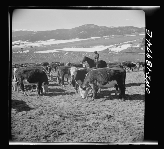 Moreno Valley, Colfax County, New Mexico. William Heck, a second generation cattleman, holding stock on his winter range for feeding