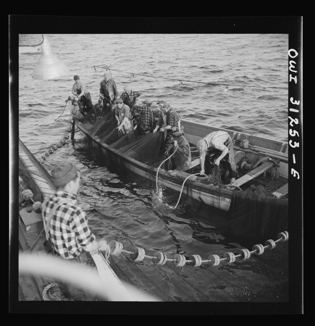 On board the fishing boat Alden, out of Gloucester, Massachusetts. Fishermen pulling in their nets so that the fish caught within them can be scooped out with a large dip net