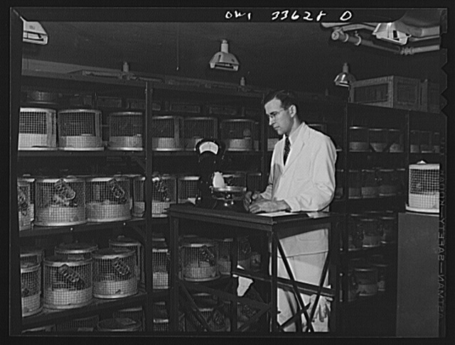 Parke, Davis and Company, manufacturing chemists, Detroit, Michigan. The weights of white rats, used in the biological testing of vitamins, are checked daily