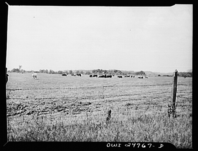 Point Pleasant, West Virginia. A herd of short-horned cows at the farm of C.C. Lewis