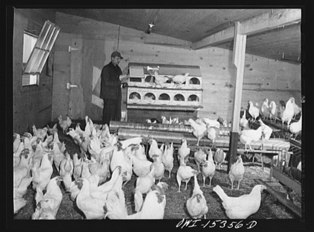Rio Grande, Gallia County, Ohio. Mr. Younkers in the poultry house on Fred Bowers farm. He was hired here after he completed a farm labor training course at Ohio State University
