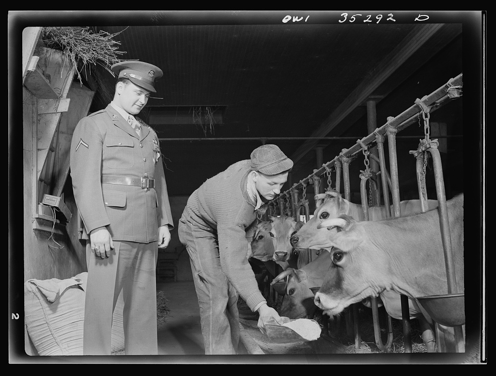 Rockville (vicinity), Maryland. Private Harvey Horton, visiting the N.C. Stiles dairy farm while on furlough from Fort Belvoir, Virginia, watching Robert Stiles feed the dairy herd