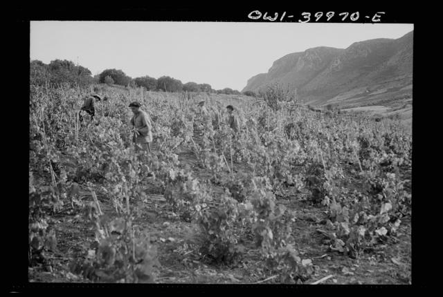 Sicilian farmers working in a field