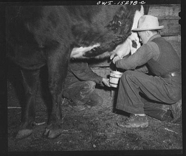 Trampas, New Mexico. Each morning Juan Lopez's boy milks the cow which yields about a lard can of milk. It is used on their mush and in coffee, rarely as a drink
