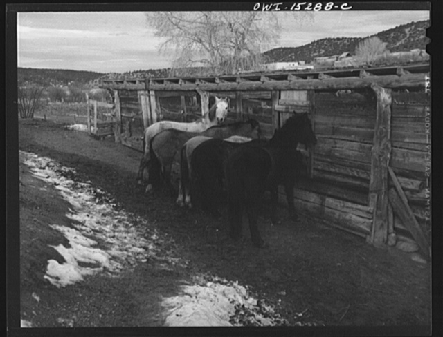 Trampas, New Mexico. Horses belonging to Juan Lopez, the Majordomo (mayor), being fed in the early morning. During the winter months, the day's work often consists of a trip to the mountains after firewood