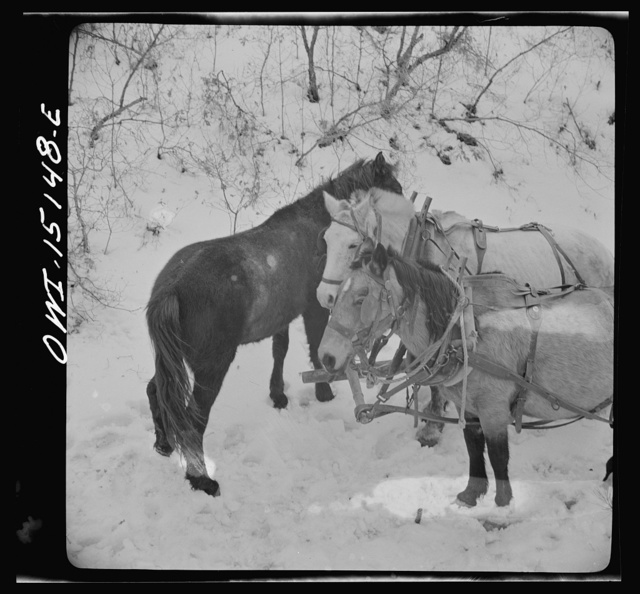 Trampas, New Mexico. Loose stock followed Juan Lopez, the majordomo (mayor), and his team into the mountains, apparently for company, and spent the time munching dead oak leaves in the snow