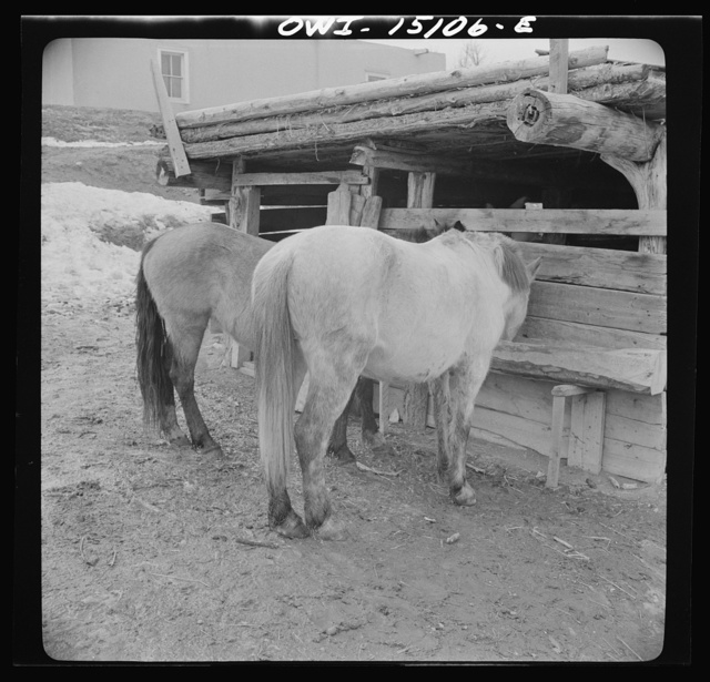 Trampas, New Mexico. The horses belonging to Juan Lopez, the majordomo (mayor), getting an extra portion of oats, after the trip to the mountains for firewood