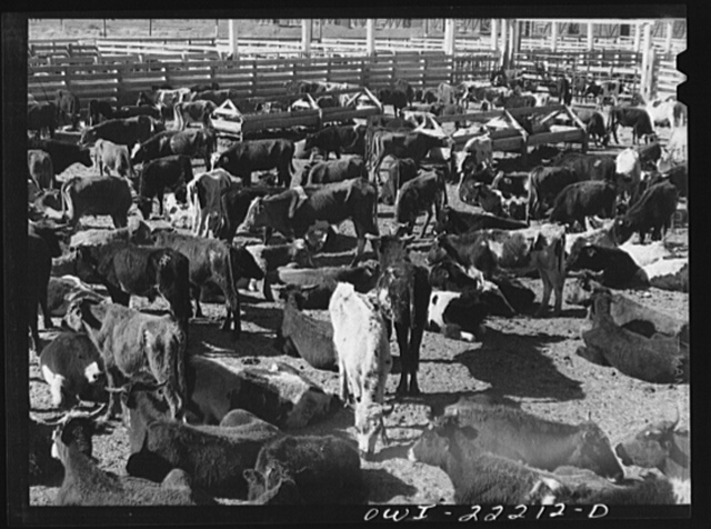 Winslow, Arizona. Cattle from old Mexico at the stockyards