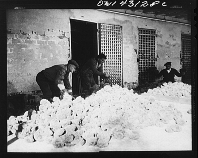Tarpon Springs, Florida. A Greek-American deep sea sponge fisherman sorting sponges