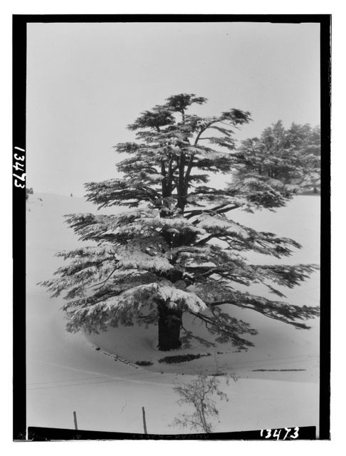 Cedars, a lone majestic giant snowed over