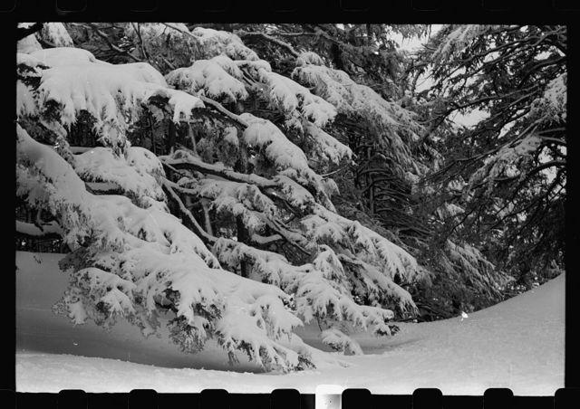 Cedars. Fog scene in the snowbound cedar grove