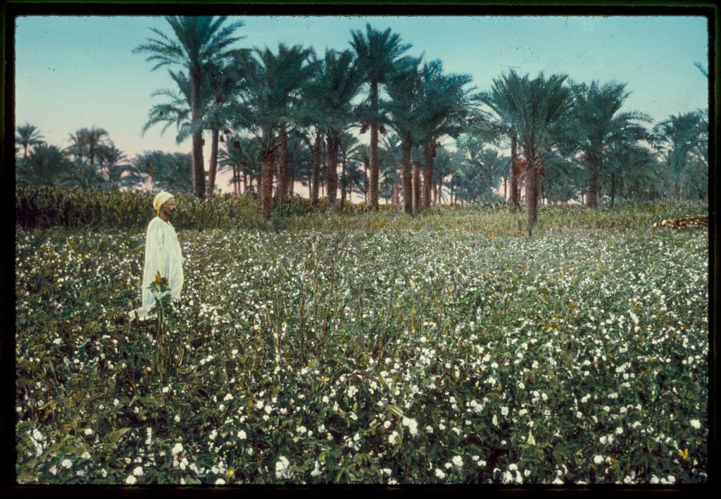 Egypt. Agriculture. An Egyptian cotton field