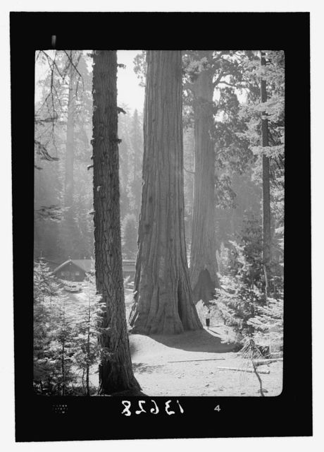 Sequoia National Park, Sept. 1957. Giant trees close to the Village.  A cathedral in nature. Note figure close to central tree