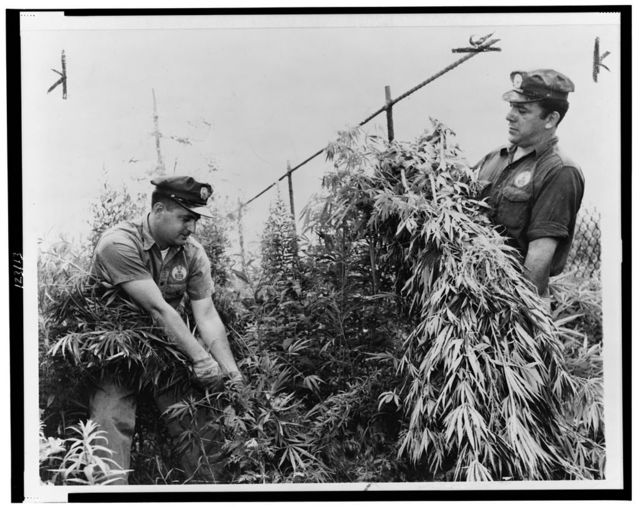 [Sanitation Department workers, Sal Tusa and John Ceffalia, weeding growth of marijuana in a lot on Cozine Avenue near Miller Avenue] / World Telegram & Sun photo by Dick De Marsico.