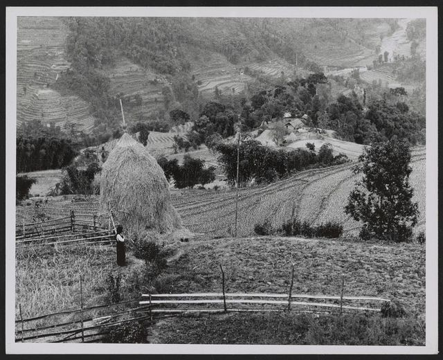 Sikkim, farm scene with haystack in for[e]ground and village in background. Rice fields are terraced mountains