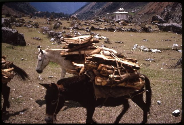 [Horses with loads of wood on their backs, Lachung, Sikkim]
