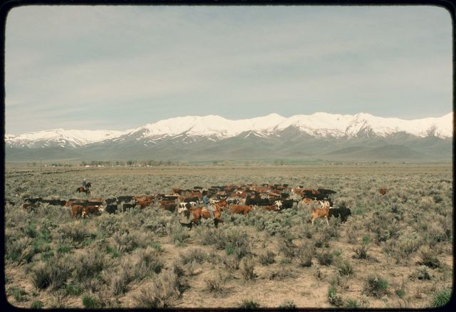Crosscountry Movement of Heifers