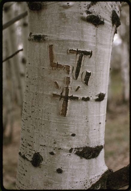 Tree Carvings on Aspens
