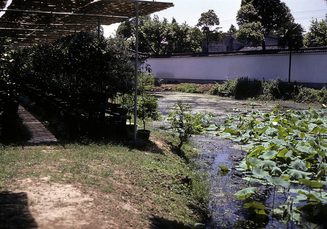 [Potted plants under a trellis, next to a stream with lotus plants, in China]