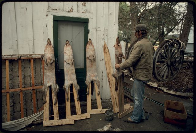 Stretching Coyote Skins