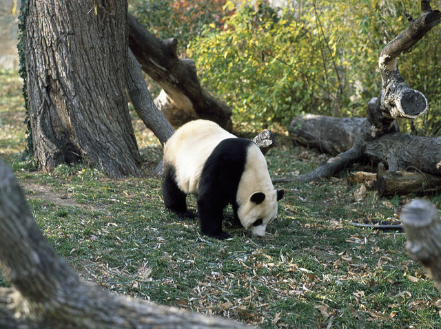 A giant panda, the star attraction at the Smithsonian Institution's National Zoo, Washington, D.C.