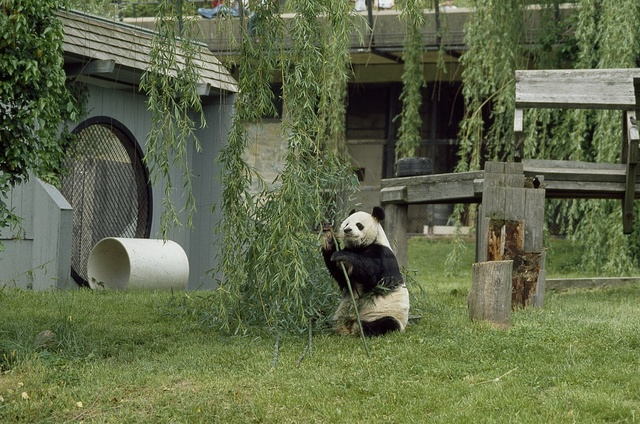 A panda plays at the Smithsonian Institution's National Zoo, Washington, D.C.