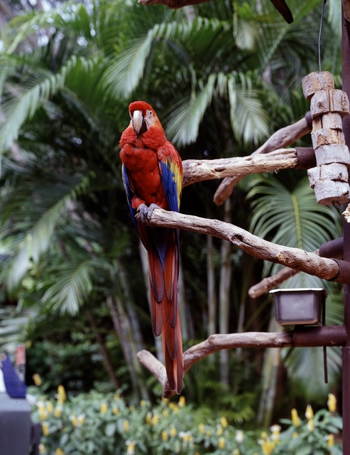 A specimen at the Parrot Jungle and Gardens, south of Miami, Florida