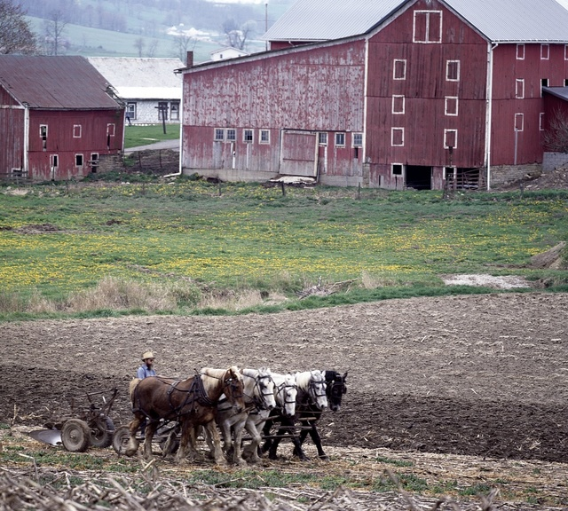 Amish farmer and his team of draft horses, Lancaster, Pennsylvania