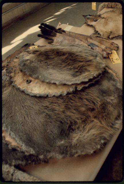 Beaver Pelts at Nevada Trappers' Association Fur Sale