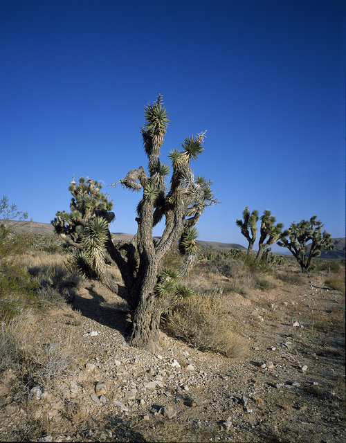 Cactus in the Joshua Tree National Forest near Twenty-nine Palms, California