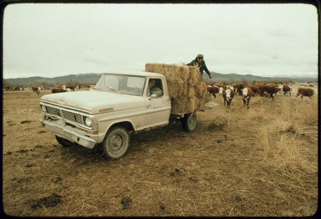 Distributing Hay on Truck