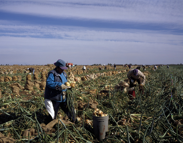 Field workers harvest onions in the Imperial Valley, El Centro, California