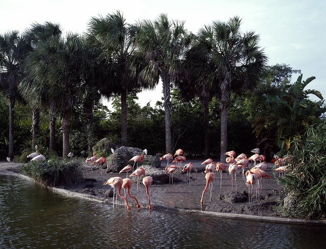Flamingos at the Miami Zoo, Florida