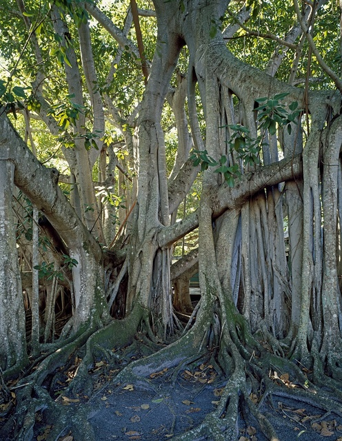 Giant banyan tree outside the winter home and laboratory of Thomas Edison, Fort Myers, Florida