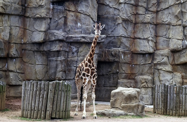 Giraffe at Lincoln Park Zoo, Chicago, Illinois