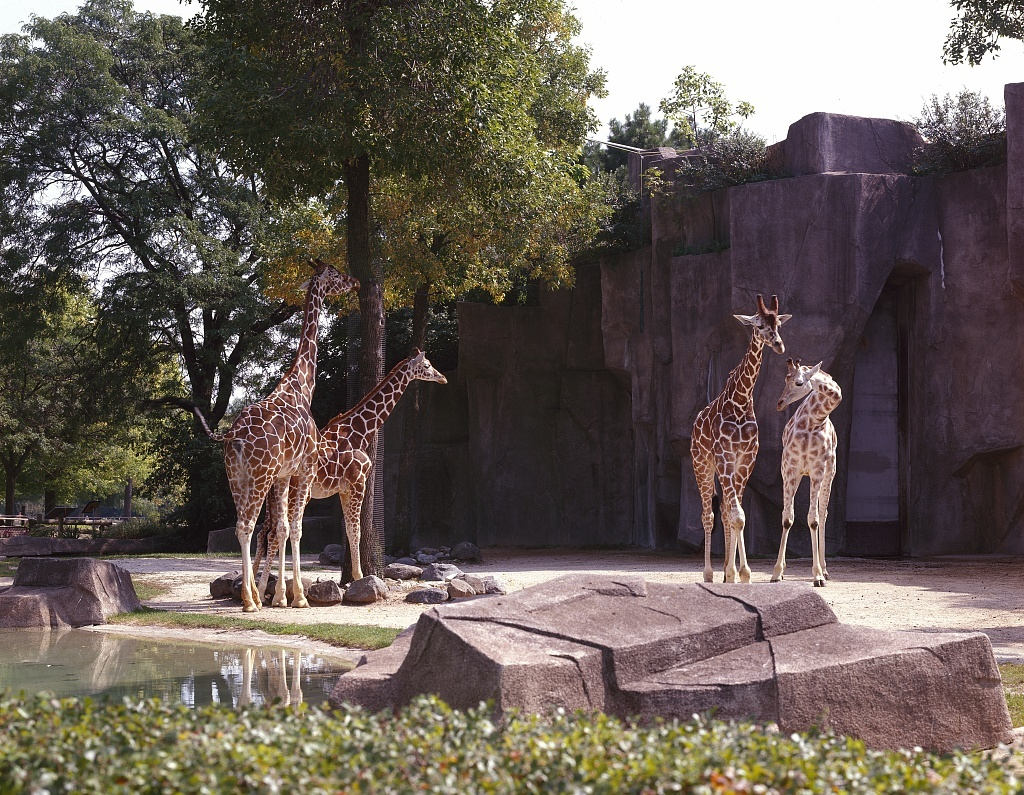 Giraffes At Lincoln Park Zoo Chicago Illinois Picryl