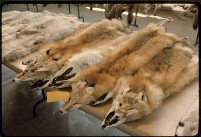 Red Fox Pelts at Nevada Trappers' Association Fur Sale