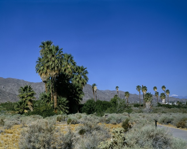 Some of the palms in 29 Palms, California