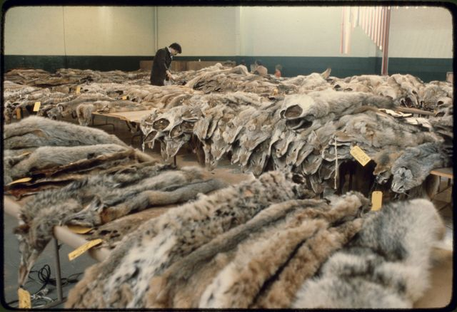 Tables of Pelts at Nevada Trappers' Association Fur Sale