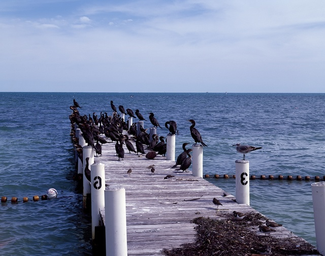 This pier, owned by the Edgewater Lodge on Long Key in the Florida Keys, often becomes a virtual bird sanctuary