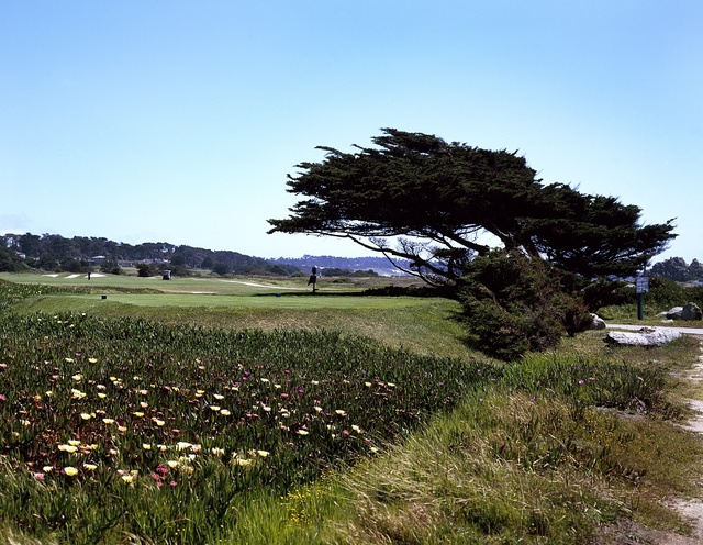 Windblown cypress tress along the central California coast