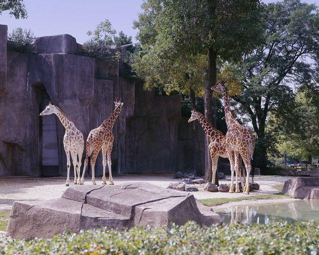 Zoo giraffes, Chicago, Illinois