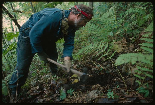 """Joe Williams digging a ginseng root with his """"seng"""" hoe.  The root must be dug carefully so that the complete root is in tact when lifted from the ground."""